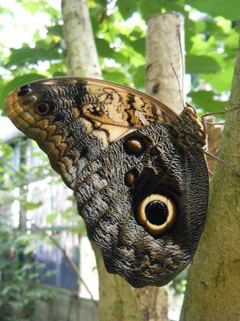 Monteverde Butterfly Garden (Jardin de Mariposas): Owl Butterfly