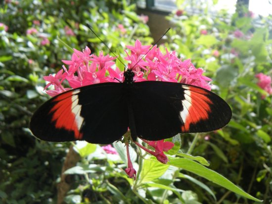 Monteverde Butterfly Garden (Jardin de Mariposas) : A hybrid of two longwing butterflies