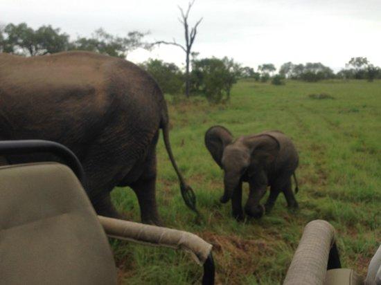 Sabi Sabi Selati Camp : baby elephant in tow