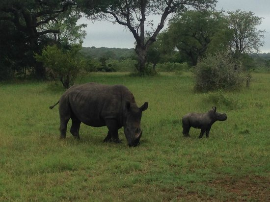 Sabi Sabi Selati Camp : White Rhino mother and baby (+/- one month)