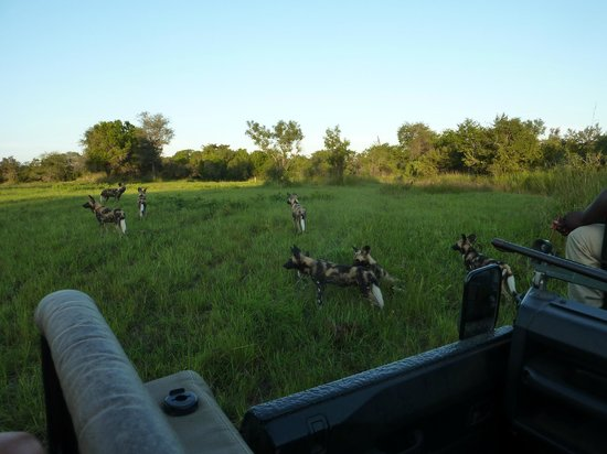 Sabi Sabi Selati Camp: wild dogs sighting