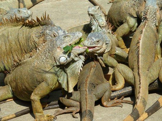Media Luna Resort & Spa : Iguana tour