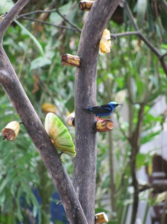 La Quinta Sarapiquí Lodge: Red-legged Honeycreeper on the fruit 'tree' outside reception