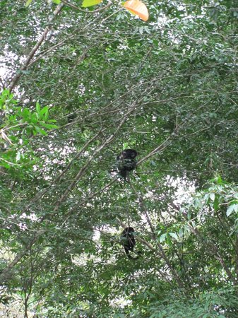 La Quinta de Sarapiqui Country Inn: Monkeys in the trees above
