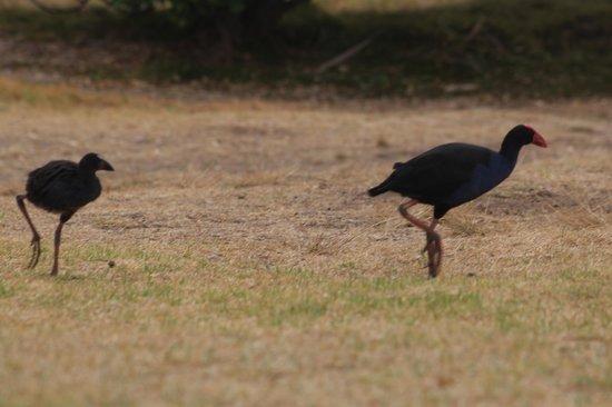 Habitat Tours : pukeko birds, mama & baby