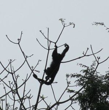Hotel Nututun Palenque : Howler Monkey in tree outside hotel room