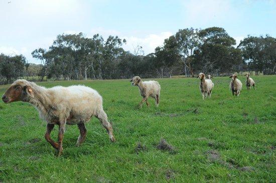 Island Pure Sheep Dairy Kangaroo Island