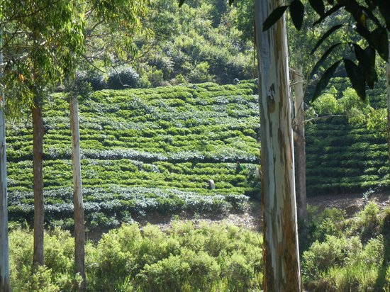 The Farm Resorts: Another view from the verandah. You can see the tea pickers at work.
