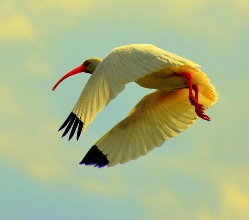 Florida Airboat Excursions: ibis in flight