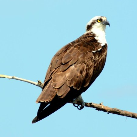 Florida Airboat Excursions : Osprey