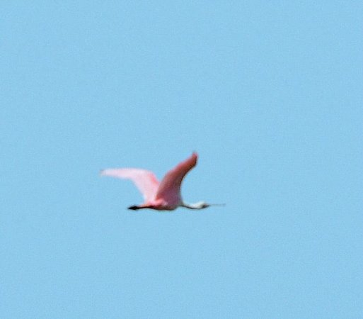 Florida Airboat Excursions : roseatte spoonbill