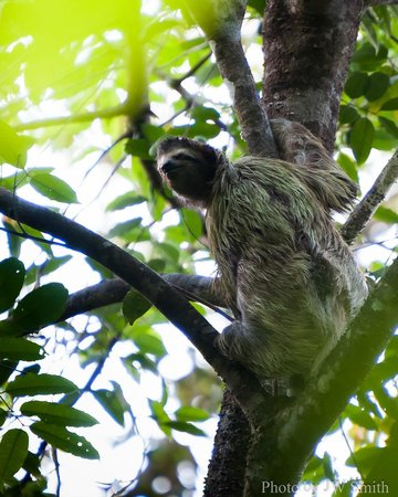 El Remanso Lodge: Two-toed Sloth
