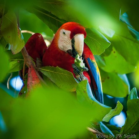 El Remanso Lodge: Scarlet Macaw from pool deck
