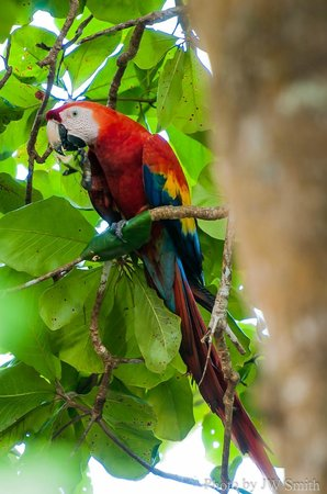 El Remanso Lodge: Scarlet Macaw from the dining room