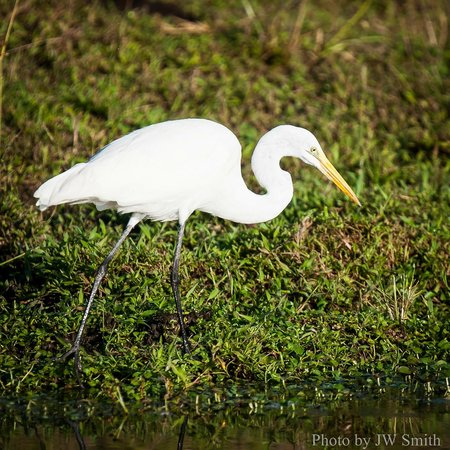 El Remanso Lodge: Great Egret - Birding Tour