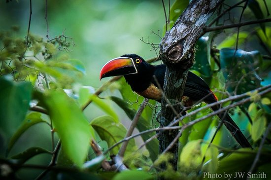 El Remanso Lodge: Feiry-billed Aracari from the dining room