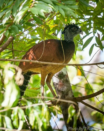 El Remanso Lodge: Great Curassow from La Vainilla deck