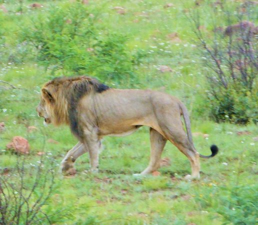 Pilanesberg National Park: Our lion after crossing the road on our Evening Drive