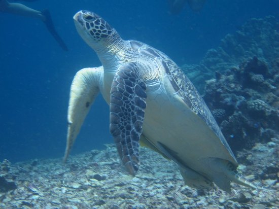 Blue Marlin Dive Gili Trawangan : Turtle Heaven!