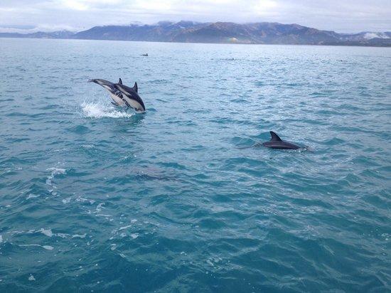 Dolphin Encounter: Jumping dusky dolphins