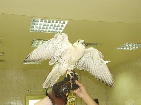 Abu Dhabi Falcon Hospital: plummage