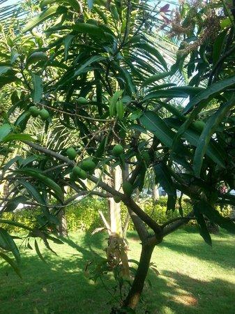 Le Meridien Kochi : mango tree