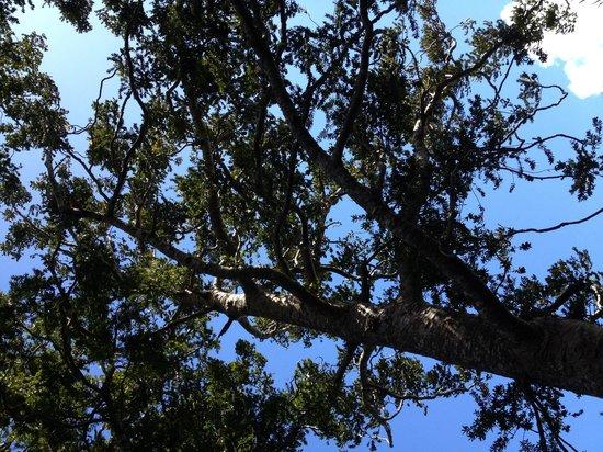 Onetangi Forest and Bird Reserve: Kauri Tree