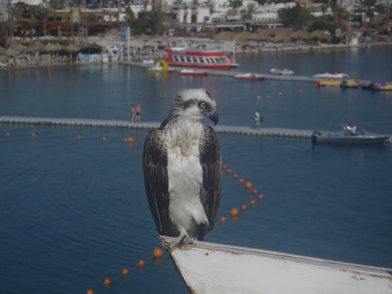 Lido Sharm Hotel: Morning Visitor