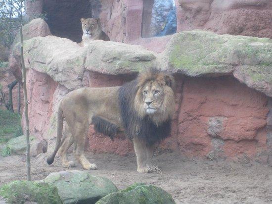 Erlebnis-Zoo Hannover: Lion