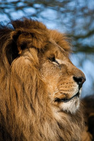 The Big Cat Sanctuary: Mr Majestic