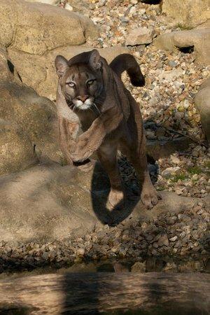 Wildlife Heritage Foundation: Leaping Puma