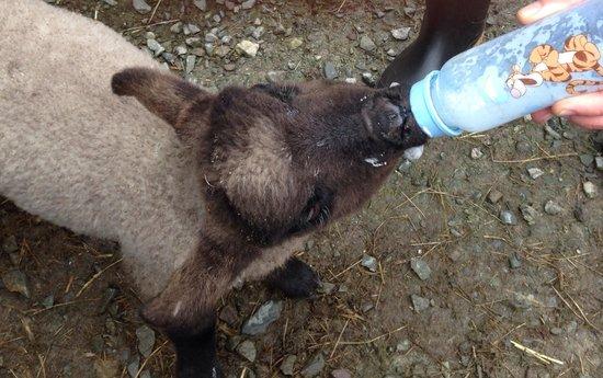 Killary Sheep Farm: Feeding the baby lambs