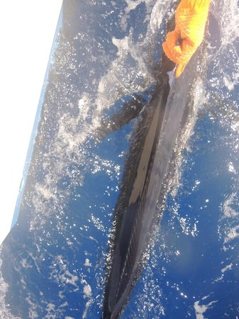 Exodus Boat Charters : The marlin just before it was released back into the sea