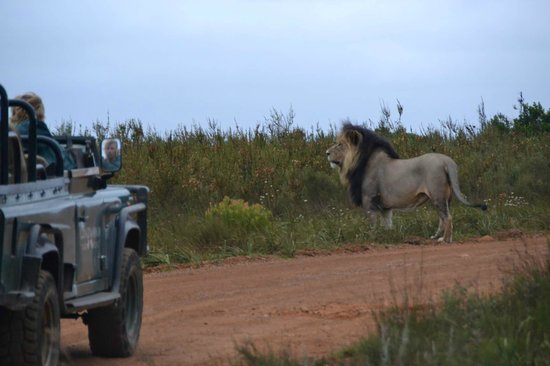 Gondwana Game Reserve: so close to the Lion