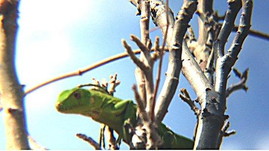 Auriga Ecolodge: Groen hagedisje