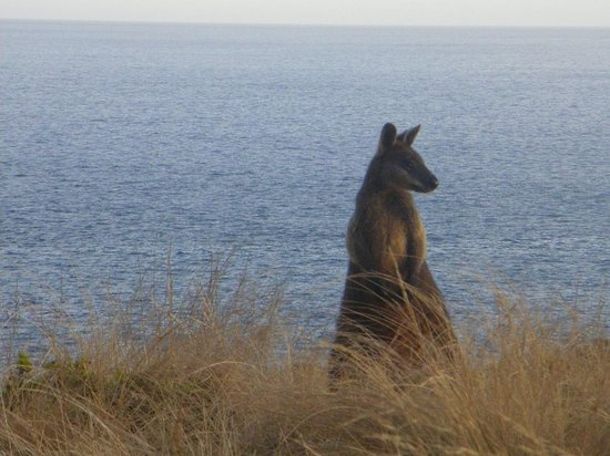 The Little Penguin Bus: A wallaby posing by the sea. The guid told us it was a male wallaby.