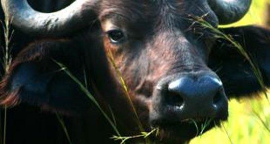 Thetford Game Reserve: Buffalo