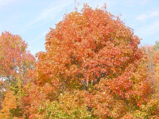 Adirondack Sunrise Motel & Cabins: Fall sugar maple
