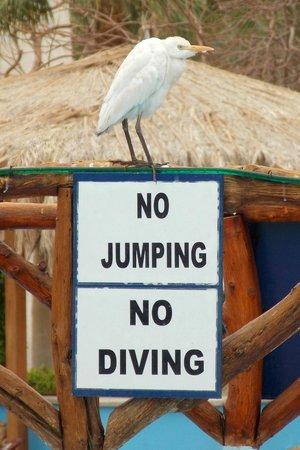 Nuweiba Coral Resort: Pool bird