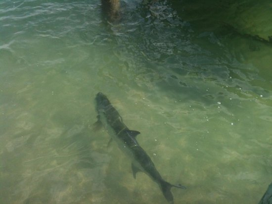 Dry Dock Waterfront Grill: Tarpon swimming near Dry Dock
