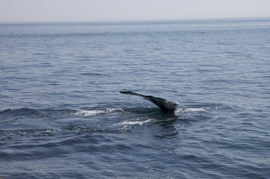 Newburyport Whale Watch: A finback diving.