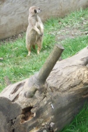 Thorp Perrow Arboretum: Young Meerkat