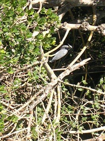 Robinson Nature Preserve: Tricolor Heron