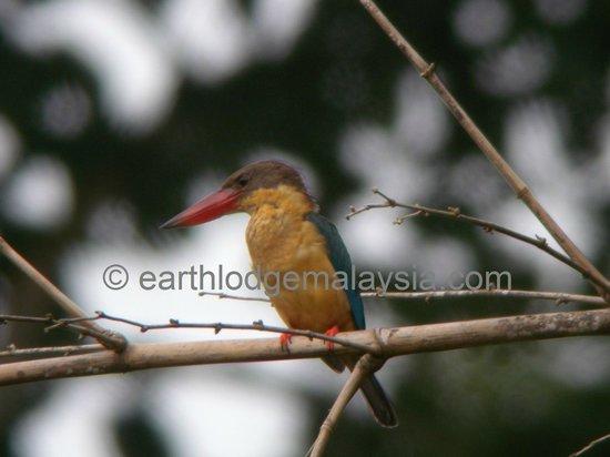 Earth Lodge Ulu Muda: The resident Stork-billed Kingfisher