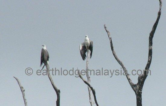Earth Lodge Ulu Muda: The largest raptor, the White-bellied Sea-eagle