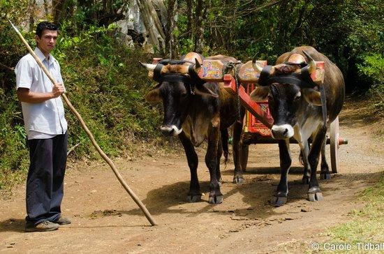 El Trapiche Tour: Oxen pulling a traditional ox cart.