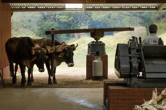 El Trapiche Tour: Oxen working the machine that squeezes the juice out of the sugar cane.