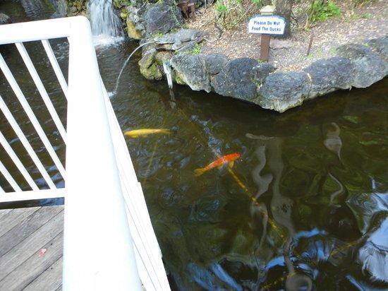 Bonaventure Resort & Spa : Koi pond