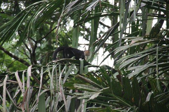 Laguna Lodge Tortuguero: les singes
