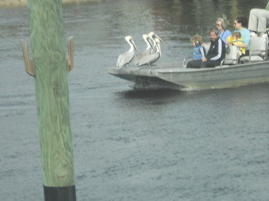 Everglades Isle RV Resort: Pelicans taking a free ride...taken from our RV